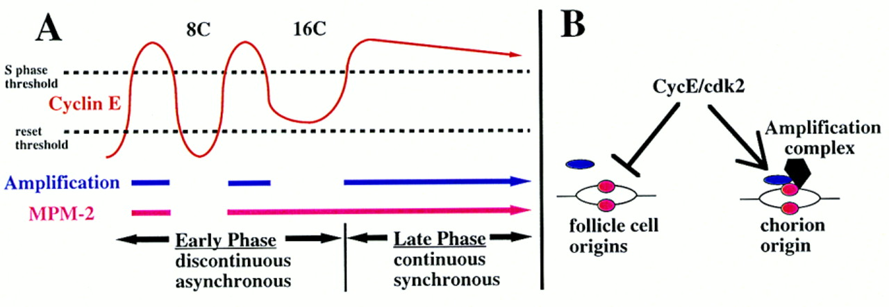 Cell cycle control of chorion gene amplification