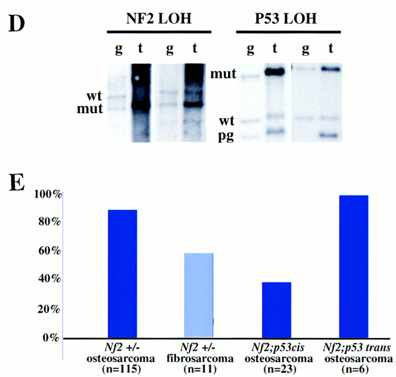 Generation Of Nf2 P53 Compound Heterozygotes In Cis And In Trans A Map Of Mouse Chromosome 11 Depicting The Locations Of The Nf2 Andp53 Loci