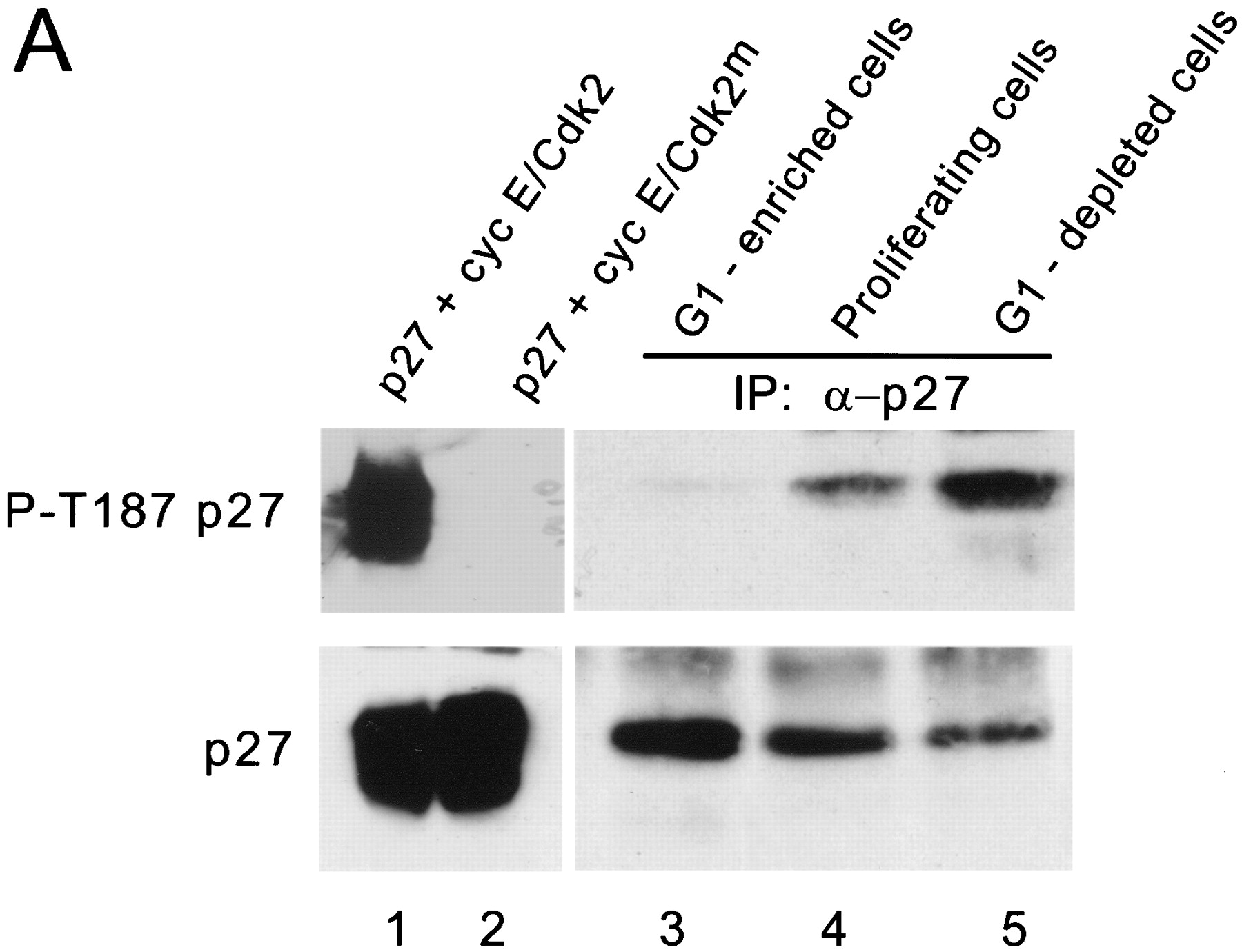 Ubiquitination of p27 is regulated by Cdk-dependent phosphorylation