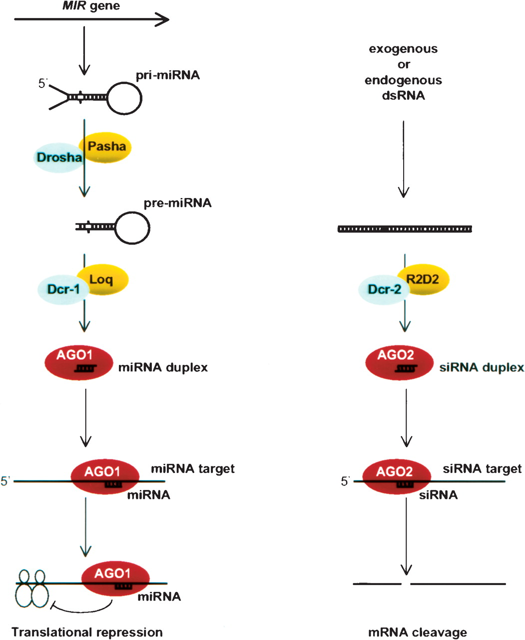 post transcriptional small rna pathways in plants mechanisms and regulations