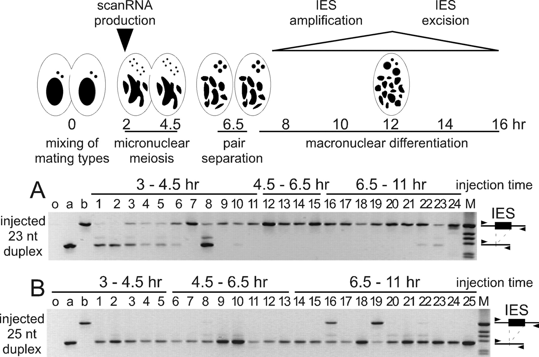 Maternal noncoding transcripts antagonize the targeting of