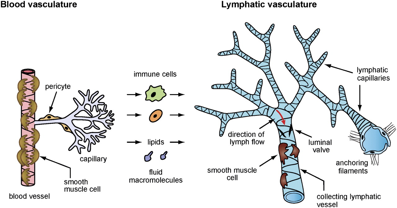 Current Views On The Function Of The Lymphatic Vasculature In Health
