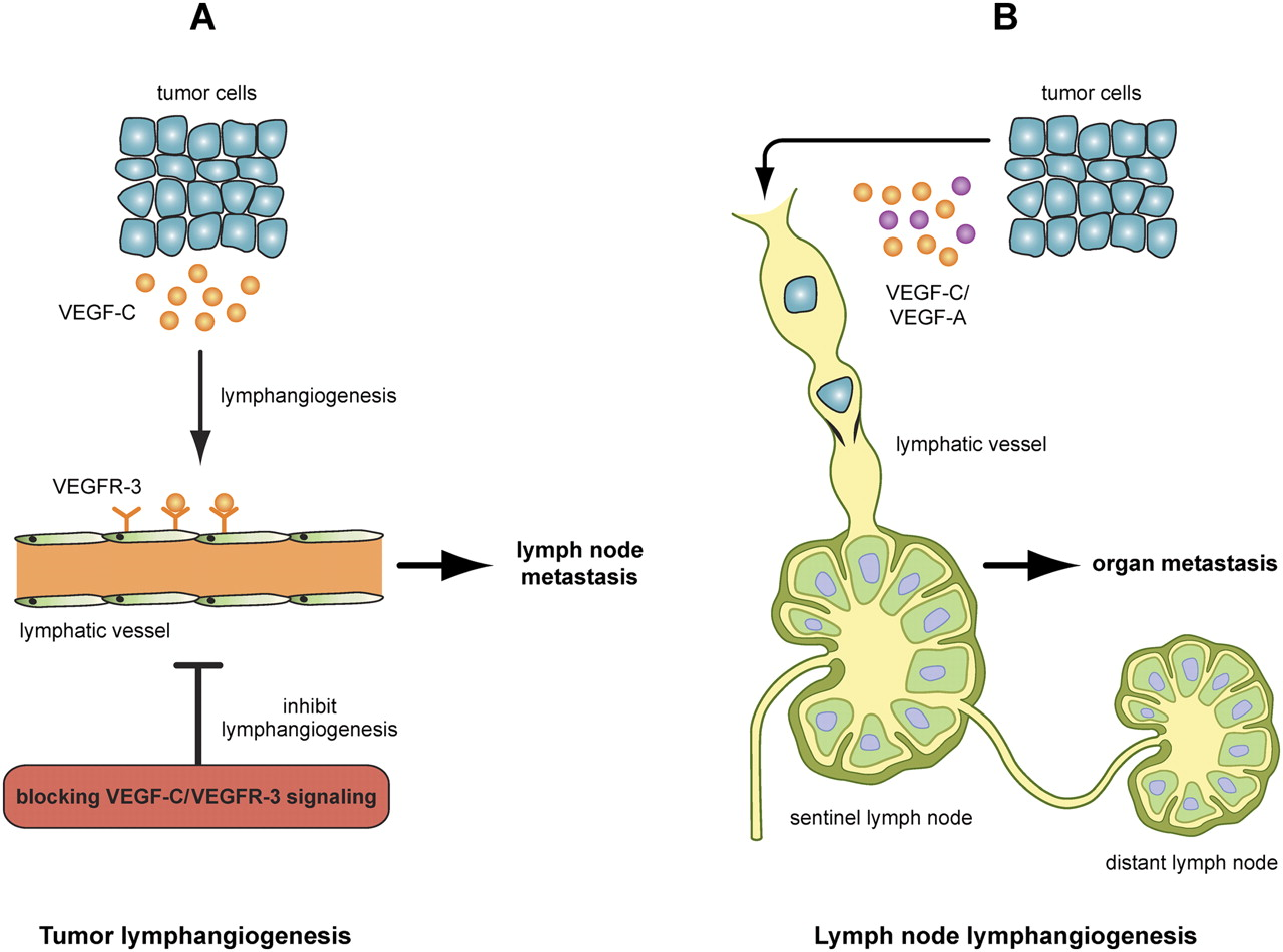 Current views on the function of the lymphatic vasculature in health current views on the function of the lymphatic vasculature in health and disease ccuart Gallery