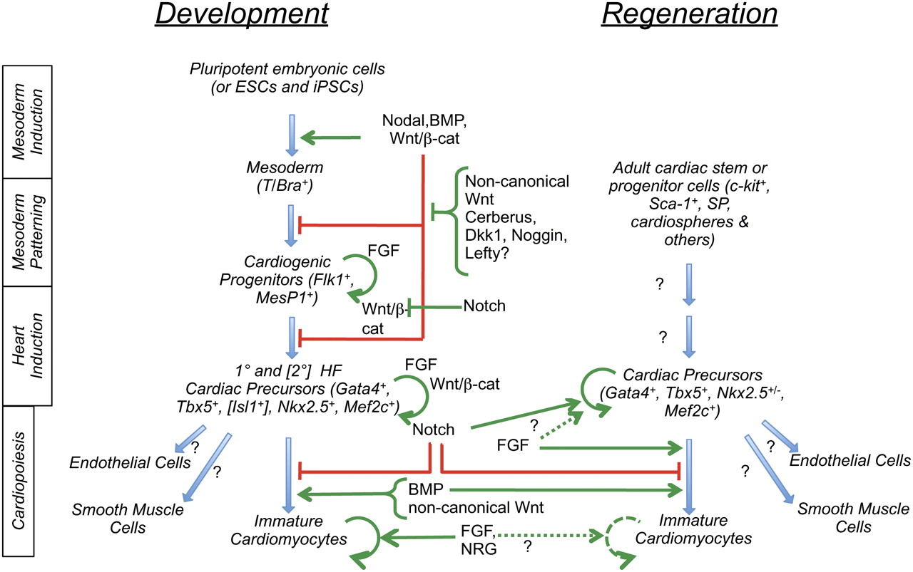 Regulated and dysregulated muscle regeneration. In regulated ...